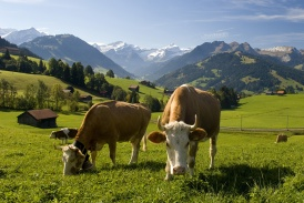 Beo_Gstaad_KeyVisual_Cows1.jpg
